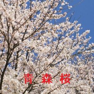 青森の桜情報