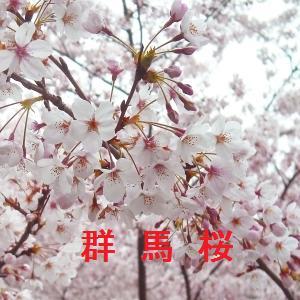 群馬の桜情報