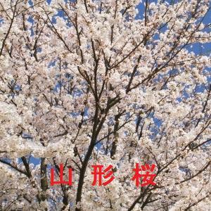 山形の桜情報