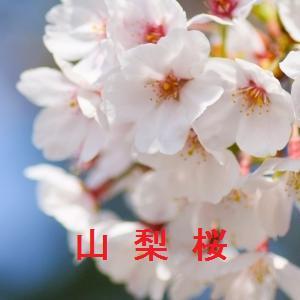 山梨の桜情報