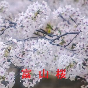 富山の桜情報