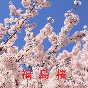福島の桜情報