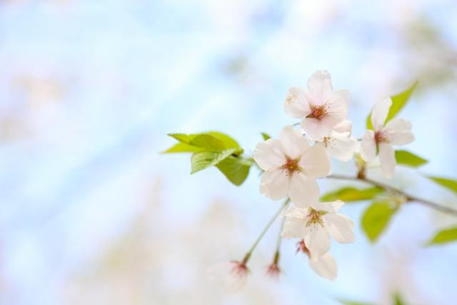 季節はずれの桜