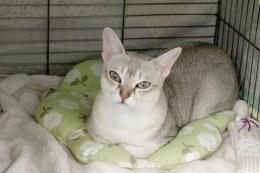 キャットショーでのシンガプーラのツレちゃん Singapura Cat TSURE-CHANG