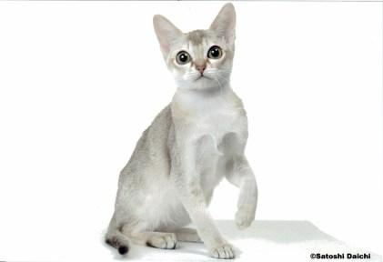 シンガプーラ アセラ Singapura Cat ACELA