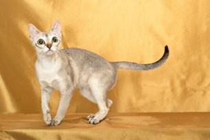 シンガプーラのジジ Singapura Cat GIGI
