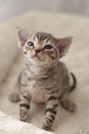 デボンレックスの仔猫 ブラウンタビー DevonRex Kittens