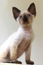 デボンレックスKIKIの仔猫 シールポイント♂ Devon Rex Kitten SealPoint