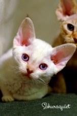 デボンレックスSNIPの仔猫 トービーポイント♀ Devon Rex Kitten TorbiePoint