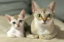 シンガプーラの親子 Singapura Cat Family