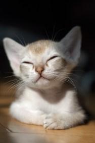 シンガプーラの仔猫 Singapura Cat Kitten
