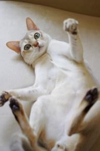 シンガプーラのツレちゃん Singapura Cat TSURE-CHANG