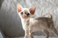デボンレックス MAKOREの仔猫 レッドクラシックタビー♂ Devon Rex Kitten RedClassicTabby