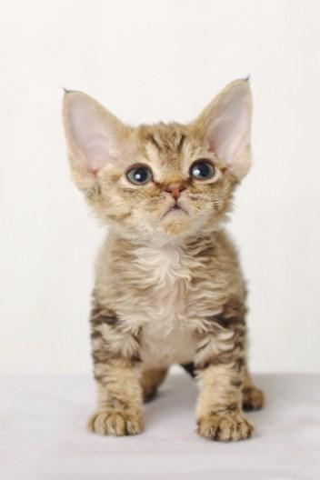 デボンレックスCATERINAの仔猫 ブラウンクラシックタビー♀ Devon Rex Kitten BrownClassicTabby