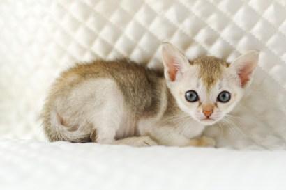 シンガプーラ ジジ 仔猫 #9792; SINGAPURA GIGI KITTEN
