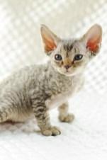 デボンレックスKIKIの仔猫 ブラウンマッカレルタビー♂ Devon Rex Kitten BrownMackerelTabby