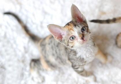デボンレックスSNIPの仔猫 マッカレルトービー&ホワイト♀ Devon Rex Kitten MackrelTorbie&White