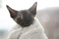 デボンレックスCATERINAの仔猫 ブラックトーティー メス Devon Rex Kitten Black tortie