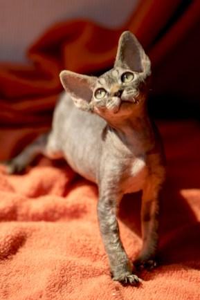 デボンレックスCATERINAの仔猫 ブラウンマッカレルタビーオス Devon Rex Kitten BrownMackerelTabby