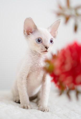 デボンレックスKIKIの仔猫 リンクスポイントオス Devon Rex Kitten Lynx point