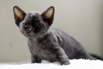 デボンレックスMEKOREの仔猫 ブラック ♀ Devon Rex Kitten Black