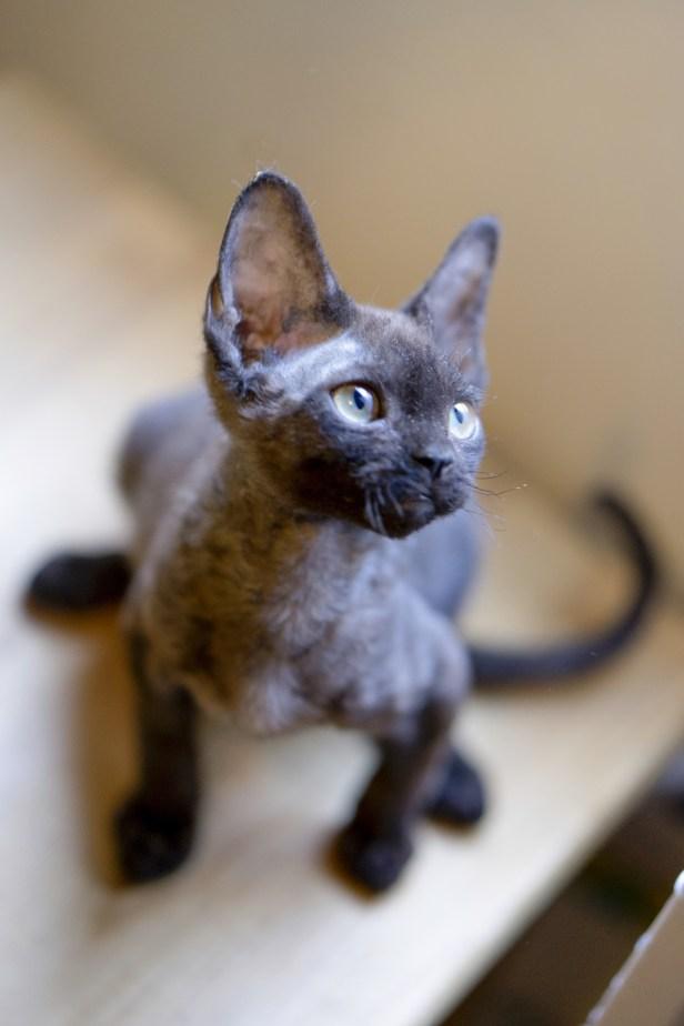 デボンレックス MAKOREの仔猫 ブラック ♂ Devon Rex Kitten Black