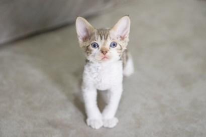デボンレックスSNIPの仔猫 チョコレートクラシックタビーアンドホワイト ♂ Devon Rex Kitten ChocolateClassicTabbyandWhite
