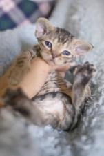 デボンレックスSNIPの仔猫 ブラウンマッカレルマッカレルタビー♀ Devon Rex Kitten BrownMackrelTabby
