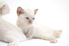 デボンレックスKIKIの仔猫 シールポイントメス Devon Rex Kittens KIKI seal point female