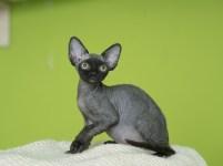 デボンレックスKIKIの仔猫 ブラック オス Devon Rex Kittens KIKI black male
