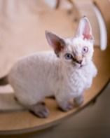 デボンレックス SNIPの仔猫 リンクスポイント ♂ Devon Rex Kittens SNIP Lynxpoint male