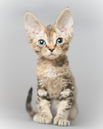 デボンレックス SNIPの仔猫 ブラウンクラシックトービー メス Devon Rex Kittens SNIP BrownClassicTorbie female