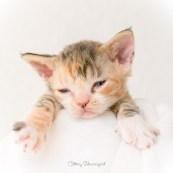 デボンレックス SNIPの仔猫 ブラウンマッカレルトービー&ホワイト メス Devon Rex Kittens SNIP BrownMackerelTorbie&white female