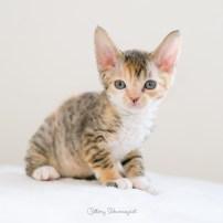 デボンレックス SNIPの仔猫 ブラウンマッカレルトービー&ホワイト メス Devon Rex Kittens SNIP BrownClassicTorbie&white female