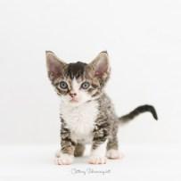 デボンレックス SNIPの仔猫 ブラウンマッカレルタビー&ホワイト オス Devon Rex Kittens SNIP Brown Mackerel Tabby &white male