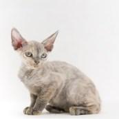 デボンレックス YUASAの仔猫 ブルートーティー メス Devon Rex Kittens YUASA Bluetortie female