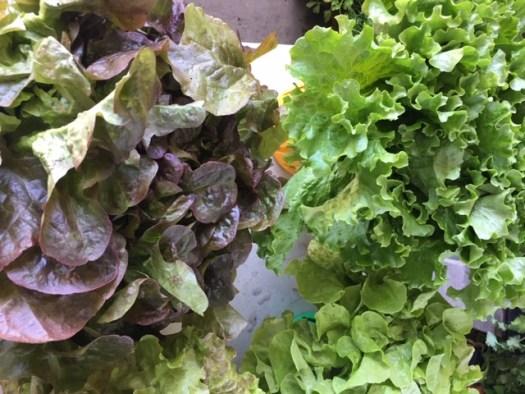 choix de laitues photo marie g laitue en feuilles vertes et rouges