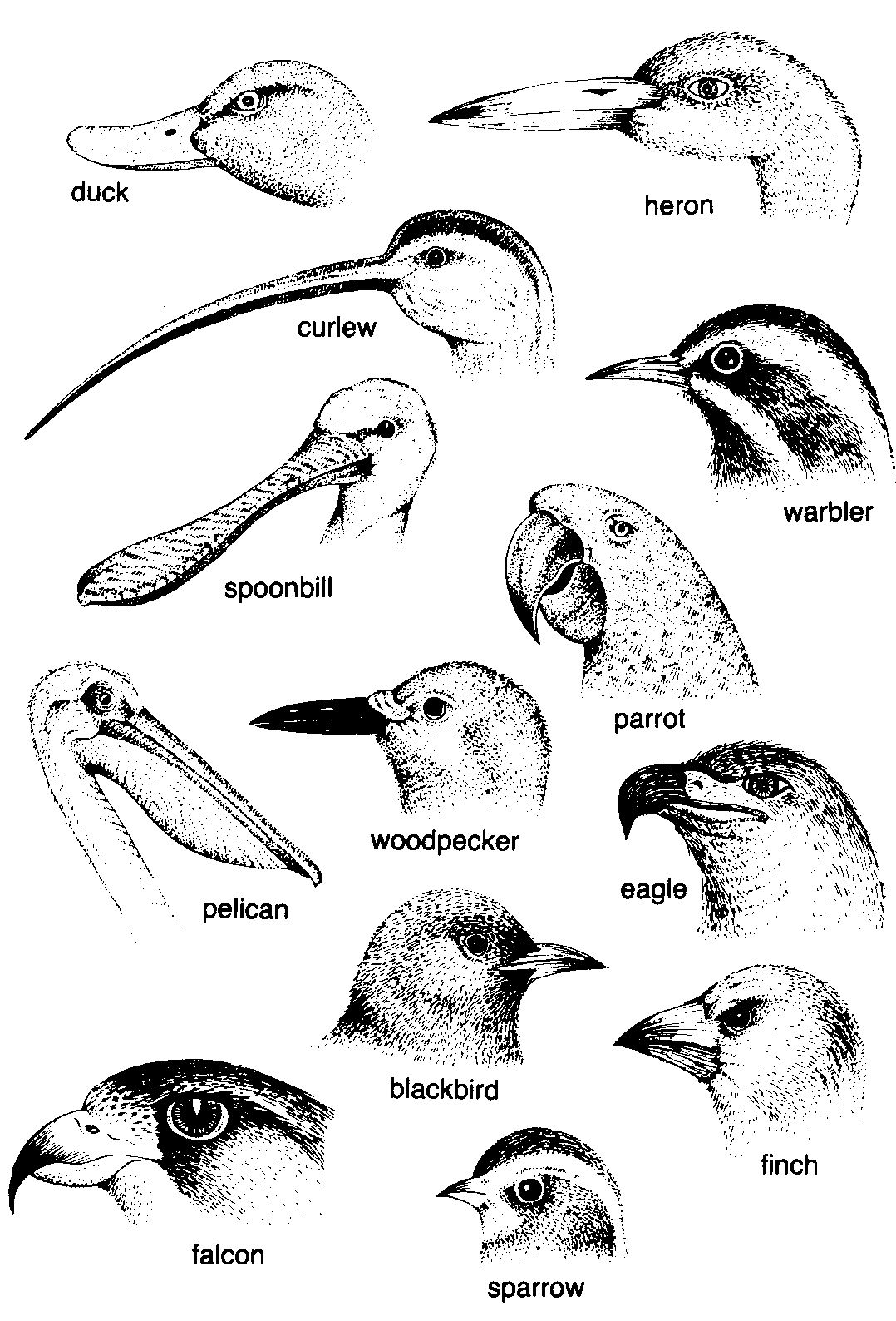 Saladogt Bird Adaptations