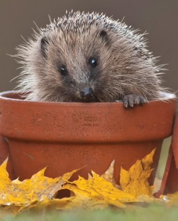 Hedgehog Photographic Card by Heart of a Garden