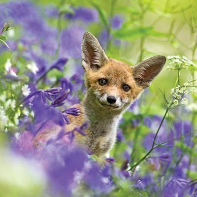 Fox In Bluebells Photographic Card, by Heart of a Garden