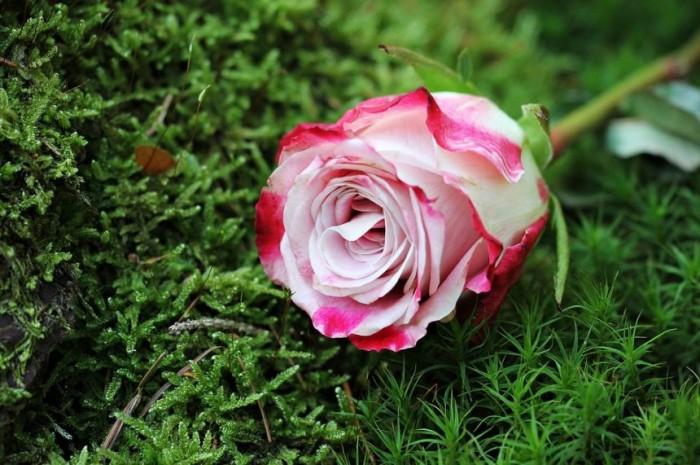gambar-bunga-mawar-pink-putih
