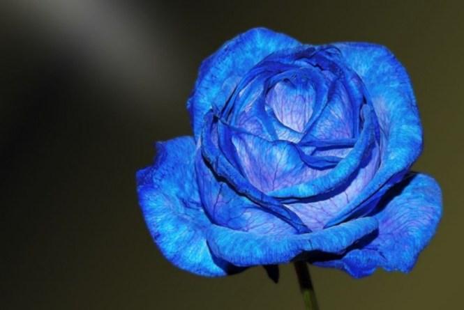 background-bunga-mawar-biru-tercantik