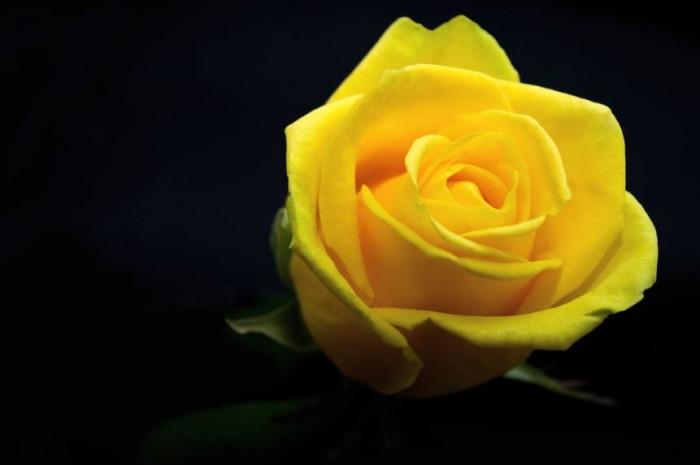 gambar-bunga-mawar-kuning-tercantik-di-asia
