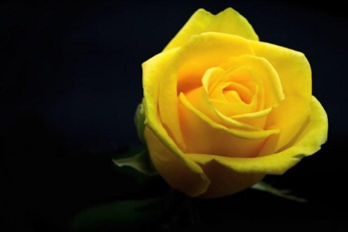 gambar-bunga-mawar-kuning