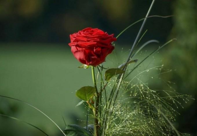 50 Gambar Bunga Mawar Tercantik Di Dunia Warna Putih Amatcardco