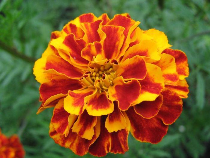 jenis bunga orange