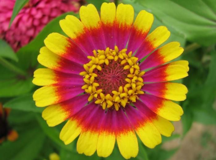 bunga-terindah-zinnia-flowwer
