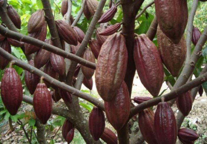 gambar buah cokelat