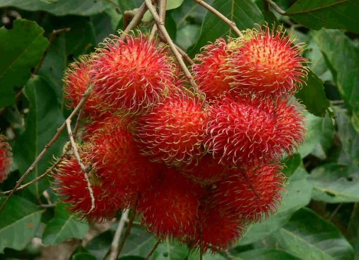 gambar-buah-rambutan