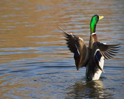 duck-image-mallard-a[1]